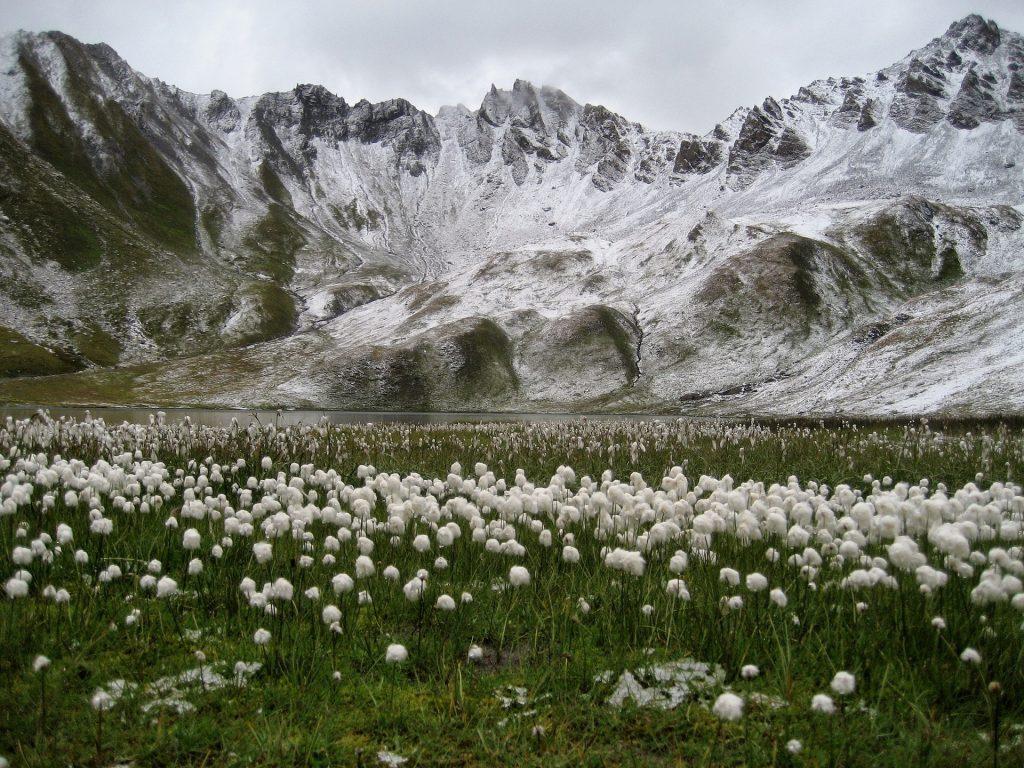 Lac et montagnes à Tignes bordés d'un champ de fleurs de coton blanches